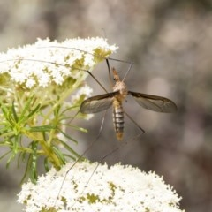 Leptotarsus (Macromastix) sp. (genus & subgenus) (Unidentified Macromastix crane fly) at ANBG - 15 Nov 2020 by AlisonMilton
