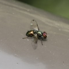 Rivellia connata (A signal fly) at ANBG - 16 Nov 2020 by AlisonMilton