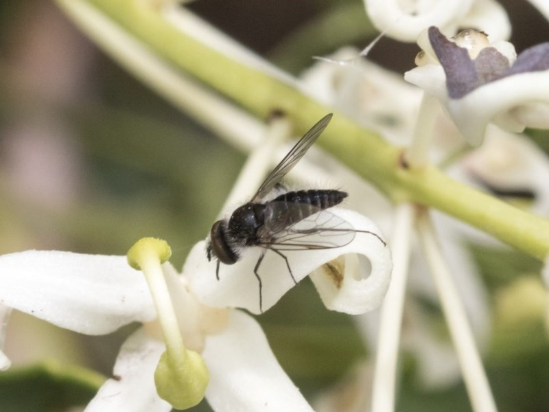 Bombyliidae sp. (family) at ANBG - 16 Nov 2020