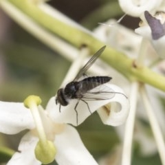Bombyliidae sp. (family) (Unidentified Bee fly) at Acton, ACT - 16 Nov 2020 by AlisonMilton