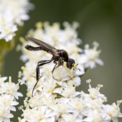 Bibionidae sp. (family) (Bibionid fly) at ANBG - 15 Nov 2020 by AlisonMilton