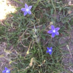 Wahlenbergia sp. (Bluebell) at Collector, NSW - 20 Nov 2020 by JaneR