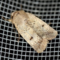Proteuxoa hypochalchis (An owlet moth) at O'Connor, ACT - 18 Nov 2020 by ibaird