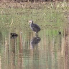 Porphyrio melanotus (Australasian Swamphen) at Wonga Wetlands - 13 Nov 2020 by Kyliegw