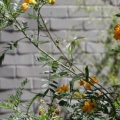 Xylocopa aeratus (Metallic Green Carpenter Bee) at Acton, ACT - 20 Nov 2020 by TimL
