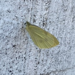 Pieris rapae (Cabbage White) at Queanbeyan, NSW - 20 Nov 2020 by Ghostbat