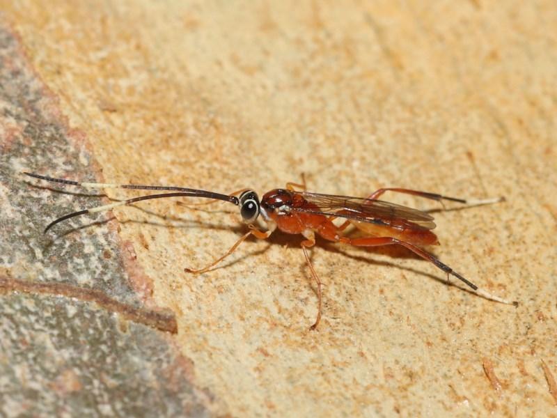 Ichneumonidae sp. (family) at Acton, ACT - 20 Nov 2020