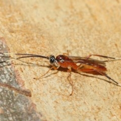 Ichneumonidae sp. (family) (Unidentified ichneumon wasp) at ANBG - 20 Nov 2020 by TimL