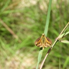Ocybadistes walkeri (Greenish Grass-dart) at Kambah, ACT - 13 Nov 2020 by MatthewFrawley