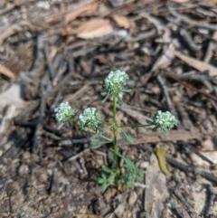 Poranthera microphylla (Poranthera) at Currawang, NSW - 20 Nov 2020 by camcols