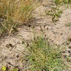 Eleusine tristachya (Goose Grass, Crab Grass) at Mount Mugga Mugga - 20 Nov 2020 by Mike