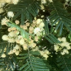 Acacia mearnsii (Black Wattle) at Gossan Hill - 20 Nov 2020 by goyenjudy