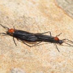 Plecia sp. (genus) at Acton, ACT - 20 Nov 2020