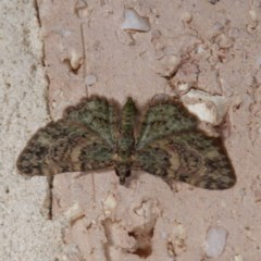 Chloroclystis catastreptes (Green and Brown Carpet) at Harrison, ACT - 20 Nov 2020 by DPRees125