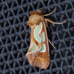 Cosmodes elegans (Green Blotched Moth) at Harrison, ACT - 20 Nov 2020 by DPRees125