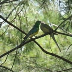 Psephotus haematonotus (Red-rumped Parrot) at Yerrabi Pond - 20 Nov 2020 by TrishGungahlin