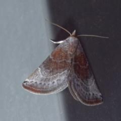 Mataeomera mesotaenia (Mataeomera mesotaenia) at Harrison, ACT - 18 Nov 2020 by DPRees125