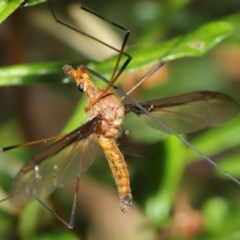 Leptotarsus (Macromastix) sp. (genus & subgenus) (Unidentified Macromastix crane fly) at ANBG - 19 Nov 2020 by TimL