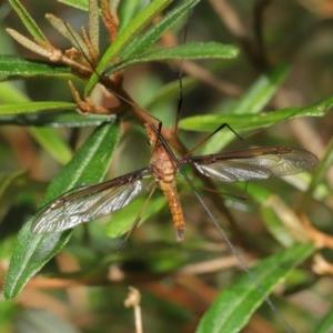 Leptotarsus (Macromastix) sp. (genus & subgenus) at Acton, ACT - 20 Nov 2020