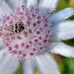 Anthrenus verbasci (Varied or Variegated Carpet Beetle) at Greenleigh, NSW - 20 Nov 2020 by LyndalT
