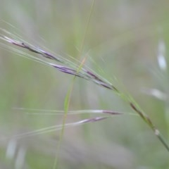 Nassella neesiana (Chilean Needle Grass) at Wamboin, NSW - 19 Nov 2020 by natureguy
