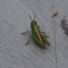 ACRIDIDAE (Unidentified grasshopper) at Moruya, NSW - 20 Nov 2020 by LisaH