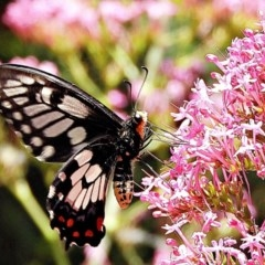 Papilio anactus (Dainty Swallowtail) at Crooked Corner, NSW - 20 Nov 2020 by Milly