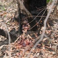 Unidentified Gum Tree (TBC) at Moruya, NSW - 19 Nov 2020 by LisaH