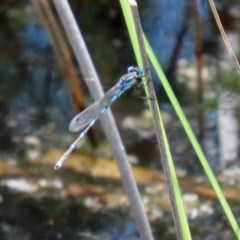 Austrolestes leda (Wandering Ringtail) at Mount Mugga Mugga - 20 Nov 2020 by RodDeb
