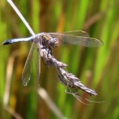 Orthetrum caledonicum (Blue Skimmer) at Mount Mugga Mugga - 20 Nov 2020 by RodDeb
