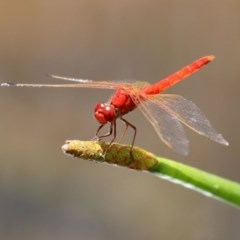Diplacodes haematodes (Scarlet Percher) at Mount Mugga Mugga - 20 Nov 2020 by RodDeb