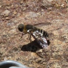 Villa sp. (genus) (Unidentified Villa bee fly) at Mount Mugga Mugga - 20 Nov 2020 by RodDeb