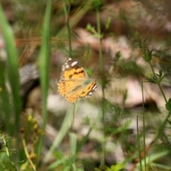 Vanessa kershawi (Australian Painted Lady) at Mount Mugga Mugga - 20 Nov 2020 by RodDeb