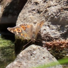 Junonia villida (Meadow Argus) at Mount Mugga Mugga - 20 Nov 2020 by RodDeb