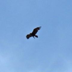 Aquila audax (Wedge-tailed Eagle) at Mount Mugga Mugga - 20 Nov 2020 by RodDeb