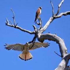Falco cenchroides (Nankeen Kestrel) at Mount Mugga Mugga - 20 Nov 2020 by RodDeb