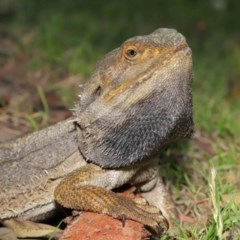 Pogona barbata (Eastern Bearded Dragon) at ANBG - 19 Nov 2020 by Tim L