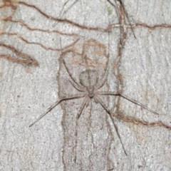 Tamopsis sp. (genus) at ANBG - 20 Nov 2020