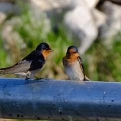 Hirundo neoxena (Welcome Swallow) at Melba, ACT - 21 Nov 2020 by Kurt