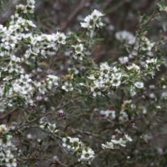 Leptospermum obovatum (TBC) at Wodonga Regional Park - 21 Nov 2020 by Kyliegw