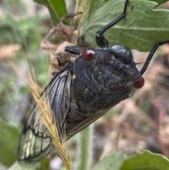 Psaltoda moerens (Redeye cicada) at Hughes, ACT - 21 Nov 2020 by KL