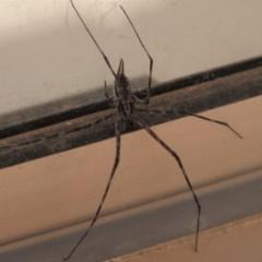 Tamopsis fickerti (Two-tailed spider) at Waramanga, ACT - 7 Nov 2020 by AndrewZelnik