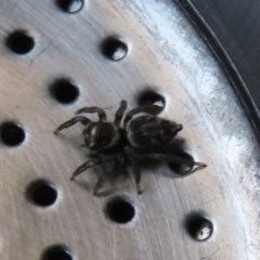 Hypoblemum griseum (A jumping spider) at Waramanga, ACT - 19 Oct 2020 by AndrewZelnik