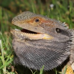 Pogona barbata (Eastern Bearded Dragon) at ANBG - 21 Nov 2020 by Tim L