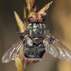 Entomophthora sp. (genus) (TBC) at ANBG - 21 Nov 2020 by Tim L