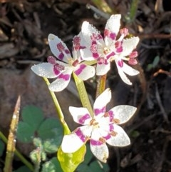 Wurmbea dioica subsp. dioica (Early Nancy) at Mount Painter - 6 Sep 2020 by drakes