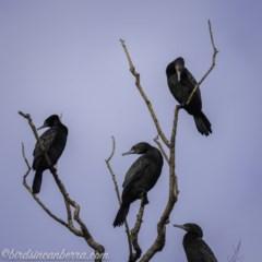 Phalacrocorax sulcirostris (Little Black Cormorant) at Lake Burley Griffin West - 6 Nov 2020 by BIrdsinCanberra