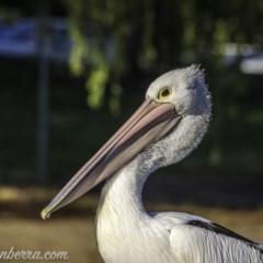 Pelecanus conspicillatus (Australian Pelican) at Lake Burley Griffin West - 13 Nov 2020 by BIrdsinCanberra