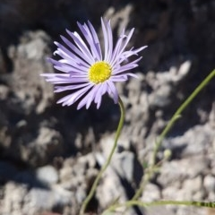 Brachyscome spathulata (Coarse Daisy, Spoon-leaved Daisy) at Rob Roy Range - 14 Nov 2020 by VeraKurz