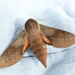 Hippotion scrofa (Coprosma Hawk Moth) at Higgins, ACT - 21 Nov 2020 by AlisonMilton